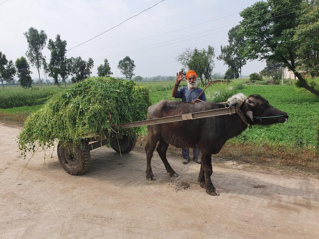 Alter Mann mit Ochsen bei der Ernte von velacell moringa